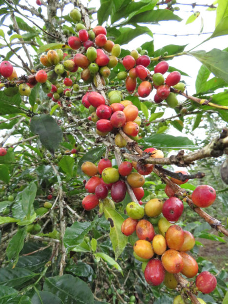 Kávové třešně na farmě farmáře Johna (c) Michal Truksa